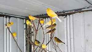 Canaries For Sale Sydenham Brimbank Area Preview