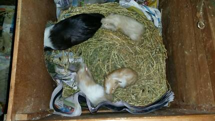 3 x male Guinea Pigs Greystanes Parramatta Area Preview