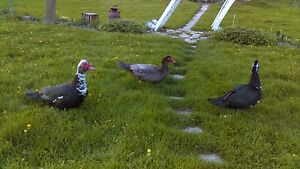 Muscovy males