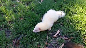 Ferret female albino  kit Stoneville Mundaring Area Preview