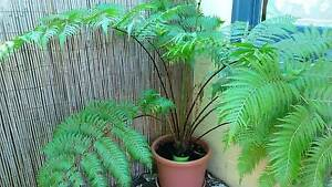 potted tree fern Tusmore Burnside Area Preview