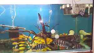 Quality Electric yellow chiclids Colony/ Red Zebras Colony Riverwood Canterbury Area Preview