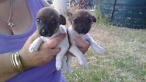 Pure bred miniature foxy pups Dubbo Dubbo Area Preview