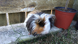 Cute Long Haired Guinea Pig Caboolture South Caboolture Area Preview