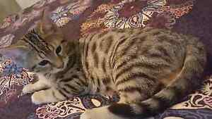 Purebred Bengal Kitten male Melbourne Airport Hume Area Preview