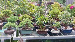 Bonsai for sale Ingleside Warringah Area Preview