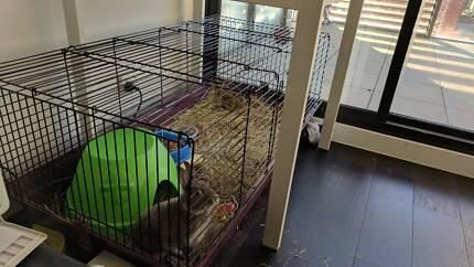 Grey Netherlands Dwarf Rabbit