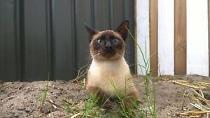 Young male Siamese