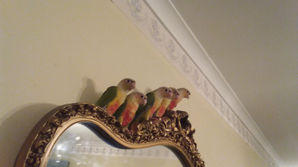 Birds High Red Conuers 11 Weeks old $105 Each