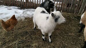 Nigerian dwarf  goat for sale