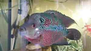Flowerhorn & Albino Pleco $100 for both Bracken Ridge Brisbane North East Preview