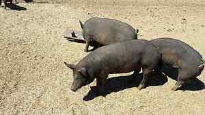 Berkshire Gilts For Sale Pinnaroo Southern Mallee Preview