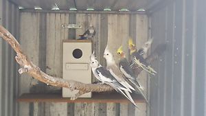 Cockatiels - many colours - from $20. Gawler Gawler Area Preview