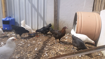 Australorp pullets Orbost East Gippsland Preview