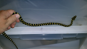Jungle carpet python pair Ashwood Monash Area Preview