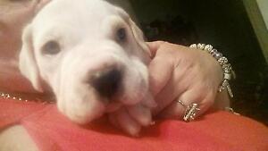 Staffy x pups for sale 1 m Brisbane City Brisbane North West Preview