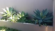 Agave plants Surfers Paradise Gold Coast City Preview