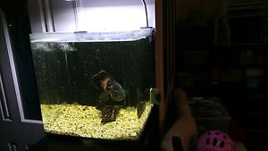 40x40x40 fish tank + 18cm Oscar fish Calamvale Brisbane South West Preview