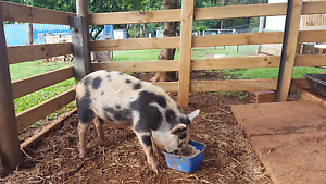 Pig for sale/swap roughly 3 month old Palmwoods Maroochydore Area Preview
