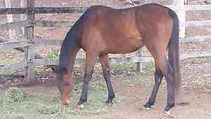 My beautiful bay Gelding for Sale- 16hh comes with all gear Morayfield Caboolture Area Preview