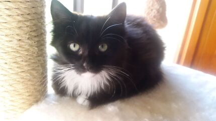 Sox - Hunter Valley cat haven  Raymond Terrace Port Stephens Area Preview