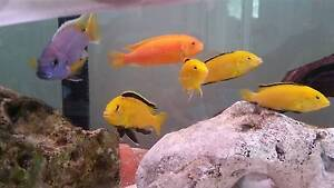 African cichlids -  purple acai & electric yellows fry for sale Westmead Parramatta Area Preview