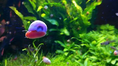5+Red Ramshorn Snails, Aquarium or Pond, Algae Eater, Live or Free Replacement!