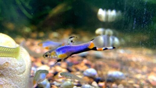 Blue Star Endler (Male/Female Pair)USA TANK BRED