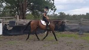 10 yr old Thoroughbred Mare Armidale Armidale City Preview