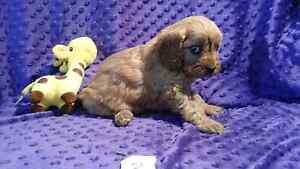 Cavoodle pups, Cavalier x mini poodle pups Newcastle Newcastle Area Preview