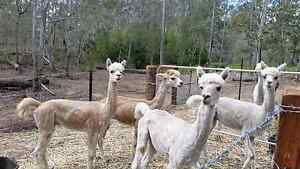 ALPACAS AVAILABLE Kensington Grove Lockyer Valley Preview