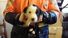Short haired Border Collie puppies Jamberoo Kiama Area Preview