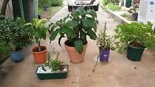 VARIOUS PLANTS, MEDIUM AND LARGE, READY TO PLANT OR REPOT. Mandurah Mandurah Area Preview