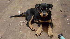 2 male Kelpie Puppies Kayena West Tamar Preview