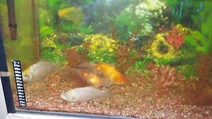 GOLD FISH & 2 FOOT TANK Beenleigh Logan Area Preview