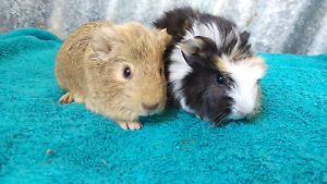 ❤QUALITY CARE BABY GUINEA PIGS HUTCH PACKAGE DEALS STARTUP DEALS Londonderry Penrith Area Preview