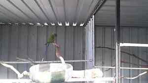 Plumhead parrots Renmark Renmark Paringa Preview