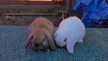 Male Pure Breed White Mini Lop Rabbit Ready Now! 0 Harris Park Parramatta Area Preview