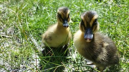 Rouen Ducklings - Hatched 12/09/2017 - $15 ea