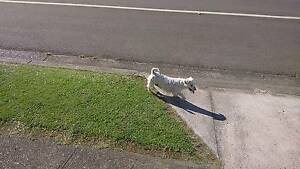 LITTLE WHITE DOG. Dapto Wollongong Area Preview