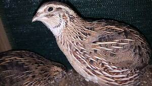 Japanese Quail - Males Wyoming Gosford Area Preview