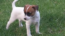 TENTERFIELD TERRIER PUPPIES PURE BREED 8 WKS Quakers Hill Blacktown Area Preview