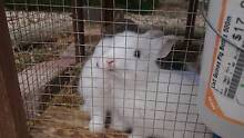 Baby bunnies and rabbits Horsham 3400 Horsham Area Preview