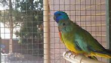 Scarlet Chested Parrots  Pair Redwood Park Tea Tree Gully Area Preview