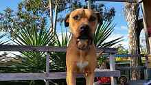 English Staffy cross 2 years old free to good home Cambridge Gardens Penrith Area Preview