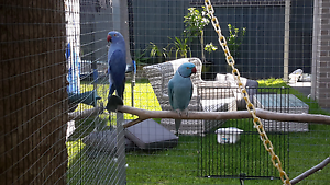 Indian ringneck pair. Blue male violet female Hoxton Park Liverpool Area Preview