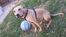 American staffy Cross (9 months old) Kellyville Ridge Blacktown Area Preview