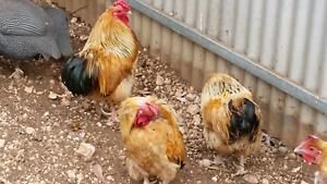 Chicken Buff Columbian Wyandotte Bantams Gawler Belt Gawler Area Preview
