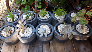 Succulent in silver/ gold pot Cheltenham Charles Sturt Area Preview