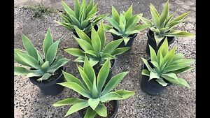 Agave plants, 4 x LARGE (60cm) 12in pots, with roots, Syd delivery Randwick Eastern Suburbs Preview